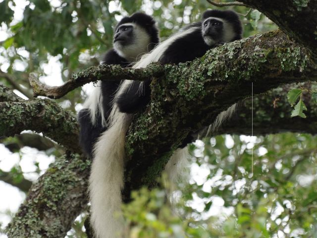 Arusha National Park is famous for Black and White colobus monkey